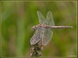 Steenrode heidelibel (jong vrouwtje)