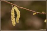 Hazelaar (mannelijke bloei)