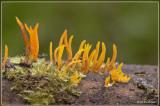 Gele hoorntjes