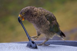 Animal Kea Bird