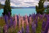 Russell Lupins Lake Tekapo