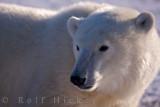Polar bear portrait- Ursus maritimus