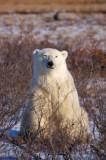 Cute Polar bear - Ursus maritimus