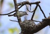 Blue-gray Gnatcathers on nest
