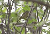 Orange-crowned Warbler