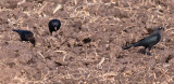 Brewer's Blackbirds & Brown-headed Cowbird