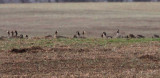 Cackling Geese & Greater White-fronted Geese