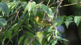 Yellow-backed Tanager (female)