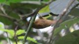 Black-capped Foliage-Gleaner