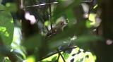 Sooretama Slaty-Antshrike (female)