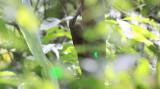 White-throated Woodcreeper
