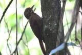 Plain-winged (Thrush-like) Woodcreeper