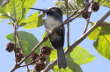 Brazil Atlantic Forest Birding 2010