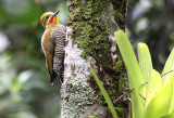 White (Yellow)-browed Woodpecker.jpg