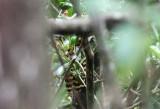 Giant Antshrike tail (female)