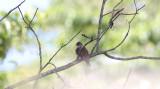 Rufous-fronted (Common) Thornbird