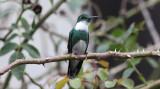 White-throated Hummingbird