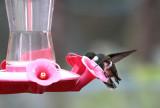 Amethyst Woodstar (female) & White-throated Hummingbird