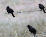 Tricolored Blackbirds