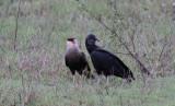 Southern Caracara & Black Vulture