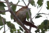 Greater Thornbird