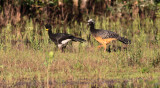 Bare-faced Curassows