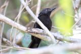Mato Grasso Antbird