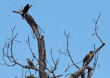 Chopi Blackbird, Chalk-browed Mockingbird, Campo Flicker