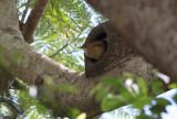 Rufous Hornero at nest