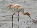 Hatchie NWR Whooping Crane