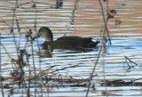 Mallard x American Black Duck