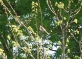 Harris' s Sparrow