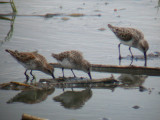 Western & Semipalmated Sandpipers