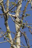 Yellow-bellied Sapsucker