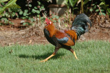 Common Jungle Fowl