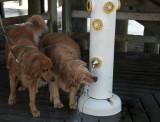 Thursty Dogs