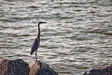 Heron on the Rocks-2 *.jpg