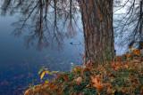 Pond Pine *.jpg