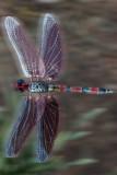 Anna's Dragonfly *.jpg