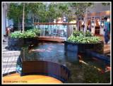 Koi Carp Pond