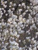 Shadbush (Amelanchier sp.)