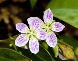 Spring Beauty (Claytonia virginia)