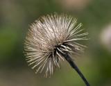 Burdock (Arctium sp.)