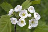 Hawthorn (Crataegus sp.)