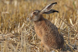 Brown hare Lepus europaeus poljski zajec_MG_2518-1.jpg