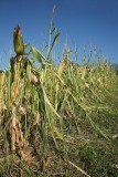 Corn after hail koruza po toèi_MG_0942-1.jpg