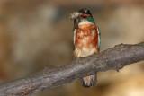 Kingfisher Alcedo athis vodomec_MG_5245-1.jpg