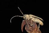 Poplar long-horned beetle  Saperda carcharias veliki topolov kozlièek_MG_5203-1.jpg