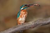 Kingfisher Alcedo athis vodomec_MG_5029-1.jpg