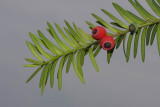 Yew Taxus baccata tisa_MG_5230-1.jpg